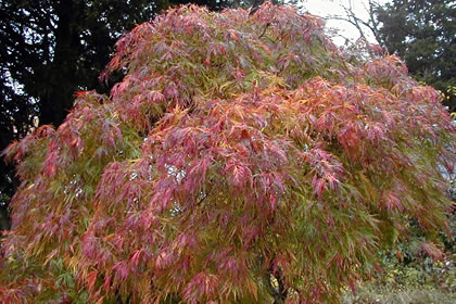 Enese Maple Tree Image Home Garden And Rtecx